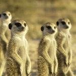 "Image for the Nature programme ""Meerkat Manor"""