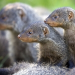 "Image for the Nature programme ""Banded Brothers: The Mongoose Mob"""