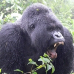 "Image for the Nature programme ""Mountain Gorilla"""