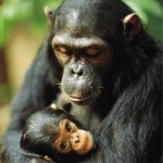 "Image for the Nature programme ""Apes in Danger"""