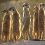 "Image for the Nature programme ""Meerkats"""