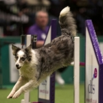 "Image for the Special Interest programme ""Crufts 2012"""