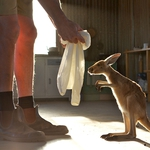 "Image for the Nature programme ""Kangaroo Dundee"""