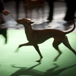"Image for the Special Interest programme ""Crufts 2014"""