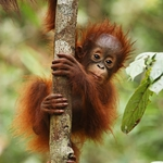 "Image for the Nature programme ""Orangutan Island"""