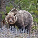"Image for the Nature programme ""Grizzly"""