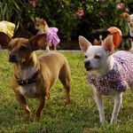 "Image for the Film programme ""Beverly Hills Chihuahua 2"""
