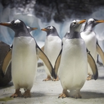 "Image for the Nature programme ""Penguins on a Plane: Great Animal Moves"""