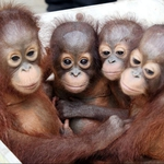 "Image for the Documentary programme ""Orangutan Rescue"""