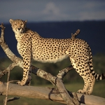 "Image for the Nature programme ""Cheetah"""