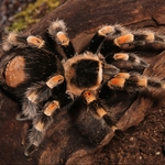 "Image for the Nature programme ""Tarantula"""