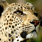 "Image for the Nature programme ""Leopard Queen"""