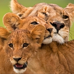 "Image for the Nature programme ""The Last Lions"""