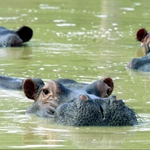 "Image for the Nature programme ""Drug Kingpin Hippos"""