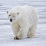 "Image for the Nature programme ""Wild Arctic: Polar Bear"""