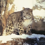 "Image for the Nature programme ""Snow Leopard of Afghanistan"""