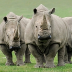 "Image for the Nature programme ""Nigel Marven's Giant Rhino Adventure"""