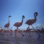 "Image for the Nature programme ""The Crimson Wing: Mystery of the Flamingos"""