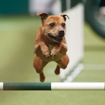 "Image for the Special Interest programme ""Crufts 2015"""
