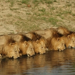 "Image for the Documentary programme ""The Lions of Sabi Sand: Brothers in Blood"""
