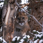 "Image for the Nature programme ""Mountain Lions: Big Cats in High Places"""
