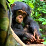 "Image for the Film programme ""Chimpanzee"""