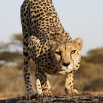 "Image for the Nature programme ""Cheetahs"""